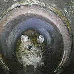 Maus im Abfluss